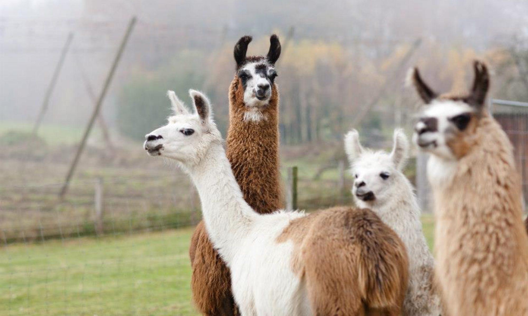 Hallertau Lamas